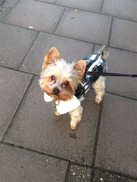 yorkie winter coats yorkie in show coat breeds picture