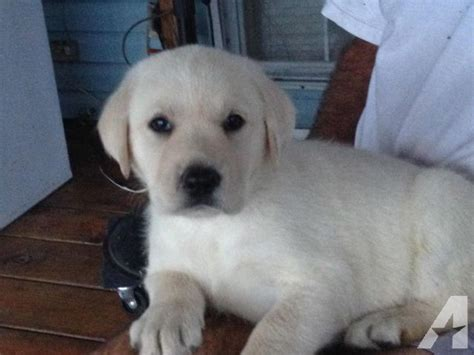 yellow lab puppies for sale in florida akc yellow labrador retriever puppies ready now for sale in polk city florida