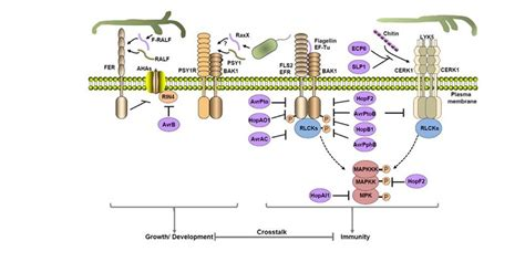 pattern recognition receptor kinases plantae review receptor kinases in plant pathogen