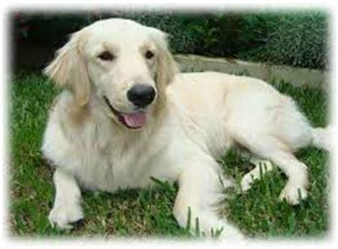 golden retriever blanco caracter 237 sticas perro gu 237 a asociaci 243 n de usuarios de perros guia murcia