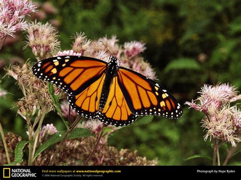 monarch butterfly monarch butterfly picture monarch butterfly desktop