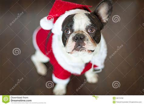 french bulldog  santa costume  christmas stock photo image