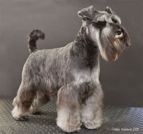 pictures of miniature schnauzer short haircutsures smart mini schnauzer my much much better half lesley