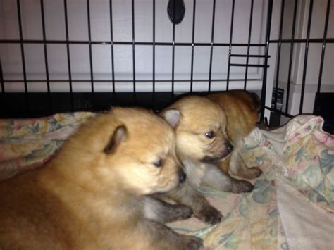 pomeranian puppies for sale in perth pomeranian puppies for sale perth breeds picture
