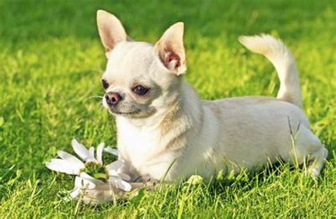 Do Chihuahuas Shed by How Are Chihuahua S With That Allergies