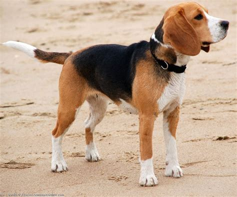 beagle puppies ta beagle dogs breeds pets