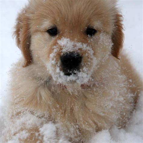 snow golden retrievers golden retriever puppies in snow wallpaper