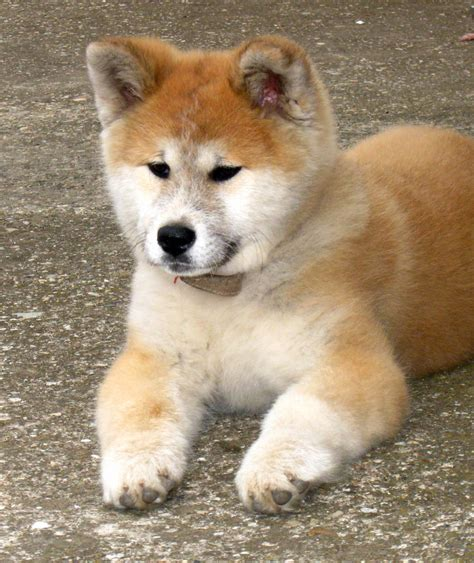 akita puppy pictures japanese akita inu info temperament puppies pictures