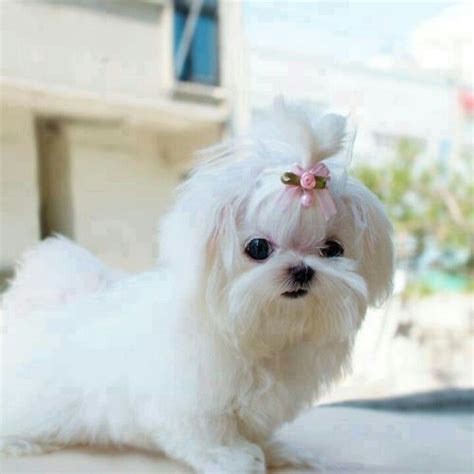 why has my maltese terrier got thin hair 615 best images about cuteness on pinterest yorkies
