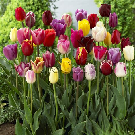 Ransel Tulip 3 In 1 aliexpress buy tulip bulbs 1 bulb tulipa flower triumph tulip free shipping