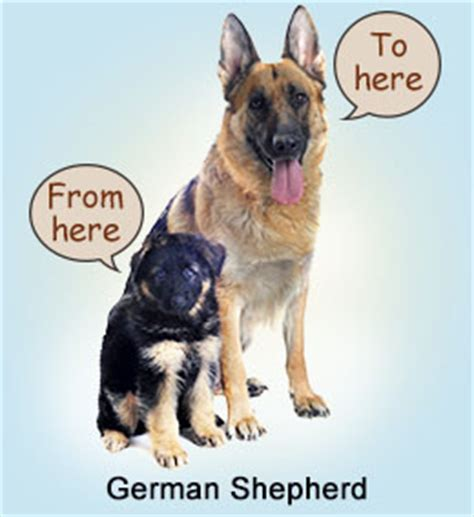 german shepherd growth chart chart to measure growth rate of your german shepherd