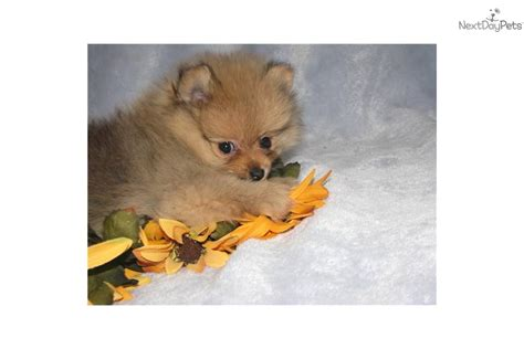 pomeranian puppies for sale in grand rapids michigan pomeranian for sale for 650 near grand rapids michigan 3bfc80ba b6d1