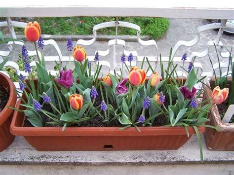bulbi di tulipano in vaso bulbi vaso bulbi bulbi vaso bulbi