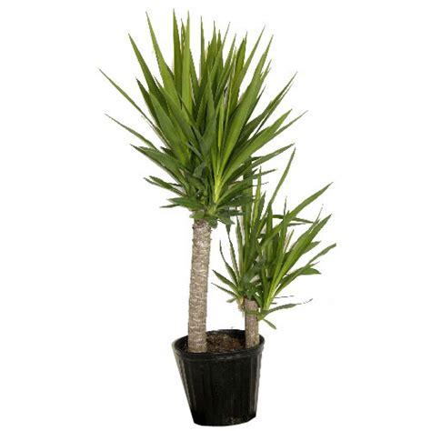 Types Of Bidets Plants Quot Yucca Cane Quot Shrub Rona