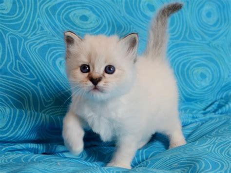 foto di gatti persiani bianchi bianchi fiocchi allevamento gatto sacro di