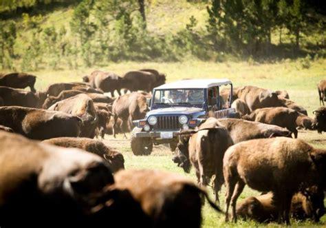 Buffalo Jeep Buffalo Safari Jeep Tour South Dakota Travel Tourism