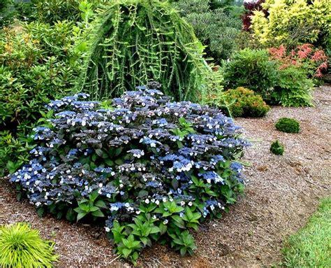 blue billow hydrangea green ideas pinterest