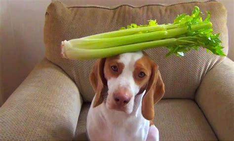 is celery bad for dogs can dogs eat this epic guide to 105 foods apples bananas grapes berries watermelon