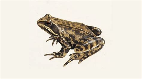 Garden Frogs by Common Frog What Do Frogs Eat Other Frog Facts The Rspb