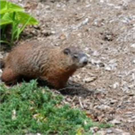 siding company cottleville dardenne prairie foristell lake st groundhog prevention wildlife command center mo