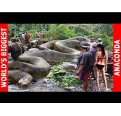 Pin Anaconda The Largest Snakes In World On Pinterest