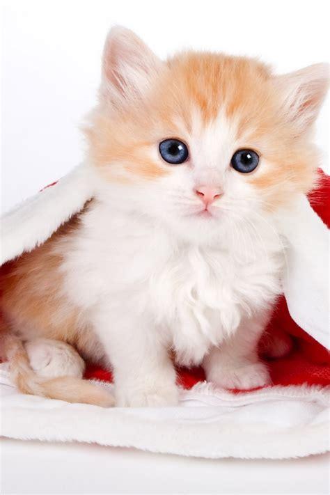 wallpaper iphone cat cute 640x960 cute cat in santa hat iphone 4 wallpaper
