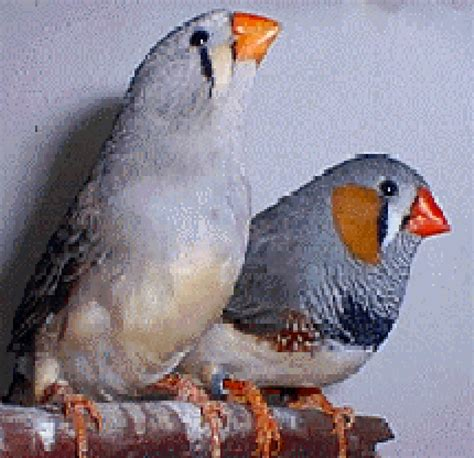 breeding finches as pets bing images