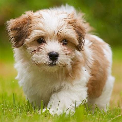 havanese dog breed information furry babies havanese