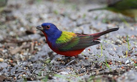 painted bunting where you ll find them southeast united