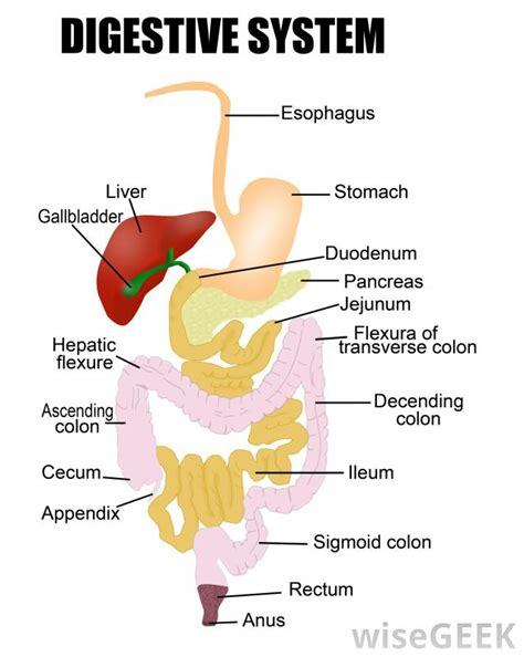 digestive system diagram what is the of the pharynx in the digestive system