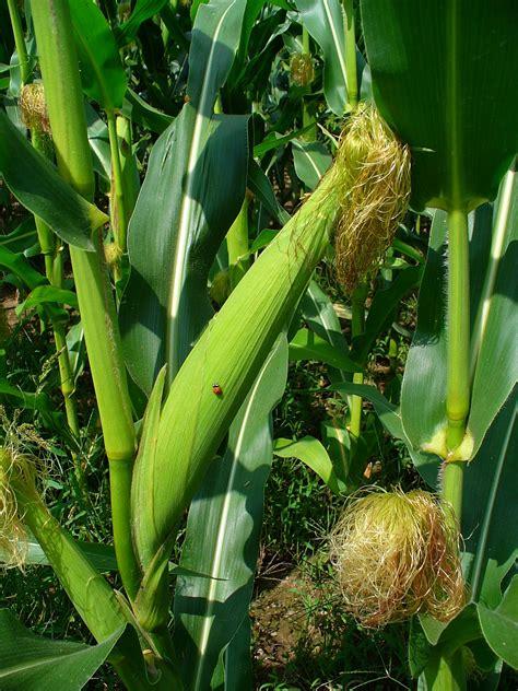 Corn L by File Zea Mays 003 Jpg Wikimedia Commons