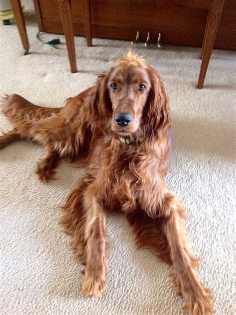 old setter dog 17 best images about irish setters on pinterest
