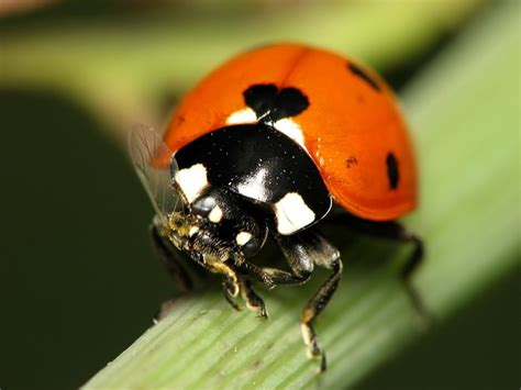 orange ladybug ladybugs pinterest