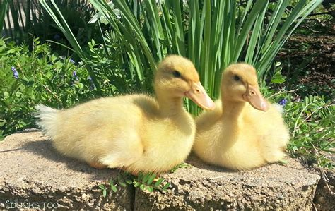 How Do Baby Ducks Need A Heat L by Brooding Ducklings The Scoop From The Coop