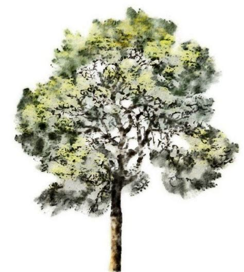 water color tree watercolor rendering 2d graphic watercolor