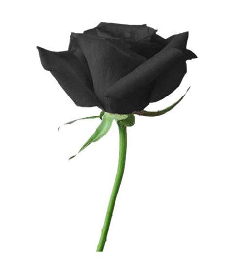 Rose Home Decor by Futaba Blood Black Rose Flower Seeds Buy Futaba Blood