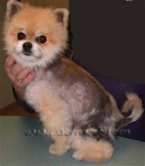 pomeranian hair loss causes dermatology clinic for animals 187 alopecia x