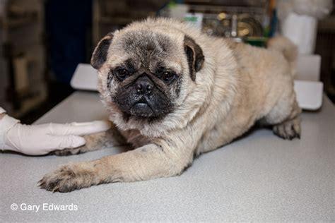 a special pug special needs pug fund