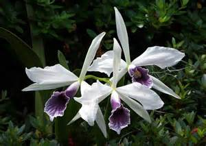 Is An Orchid A Flower Or A Plant - a blue orchid flower from brazil laelia purpurata the