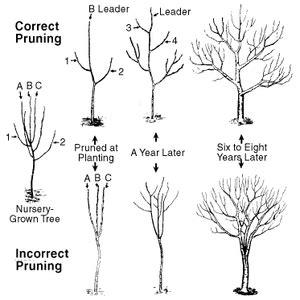 how do you prune fruit trees hgic 1351 pruning apple pear trees