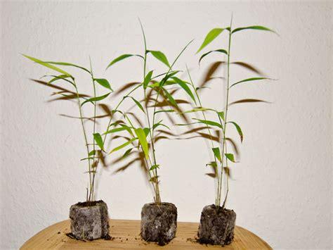Bambus Im Kübel Kaufen 63 by Riesenbambus Phyllostachys Pubenscens Moso Geh 246 Rt Wegen