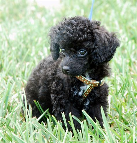 are poodles dogs miniature poodle puppies adopt a miniature poodle breeds picture