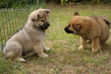 eurasier puppies eurasier puppies photo and wallpaper beautiful eurasier puppies pictures