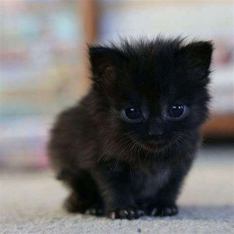 black kittens ideas  pinterest cute baby cats