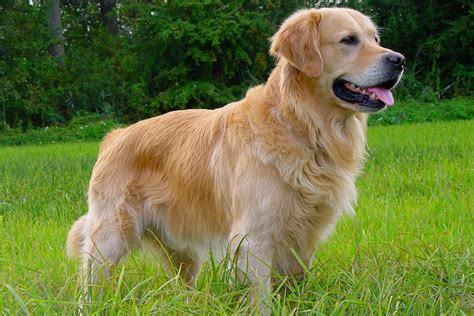 golden retriever louisiana golden retriever perros golden retriever razas de perros