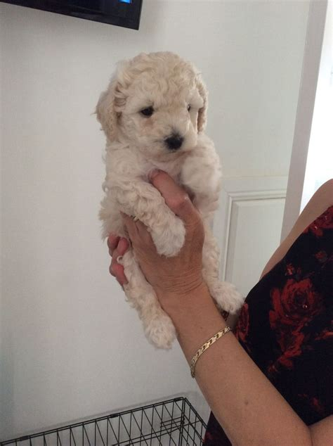 malshipoo puppies malshipoo puppies ready in 3 weeks 2girls 1 boy lincoln lincolnshire pets4homes
