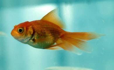 vasca pesce rosso dimensioni della vasca per un pesce rosso i consigli di