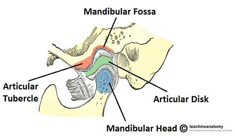 tmj diagram temporomandibular joint anatomy anatomy