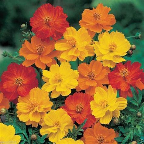 Benih Bunga Cosmos Bright Lights Mix Orange And Yellow Flower 1 1000 cosmos sulphureus seeds bright lights mix yellow orange ebay