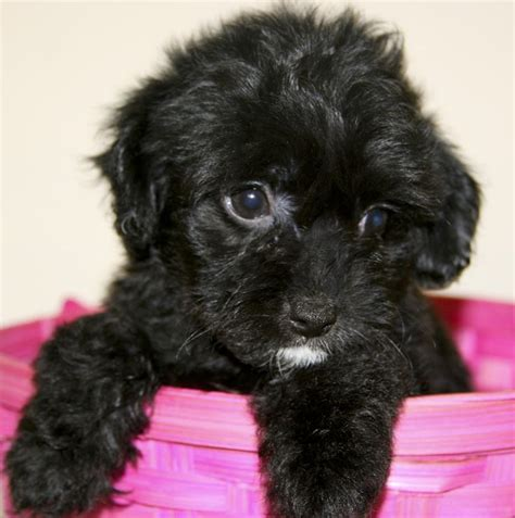 black yorkie poo images 114 best images about yorkie poo on chief and yorkie